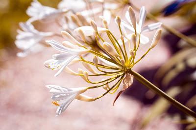 El Agapanto o Lirio Africano, más que una planta ornamental