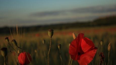 En mayo, en Toscana, los campos se llenan de amapolas.