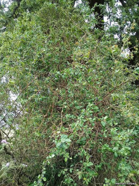 Talilla (Lycium cestroides)