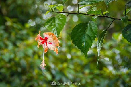 El hibiscus empapado