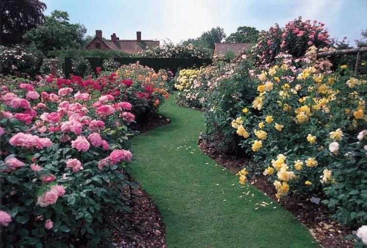 Розы остина в ландшафтном дизайне дачного участка