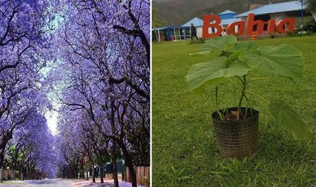 """Los peligros del """"milagroso"""" árbol que promueve Nadina Reynoso y que está prohibido en muchos países"""