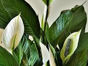 Espatifilo cuna Moisés, gran planta interior para purificar ambientes