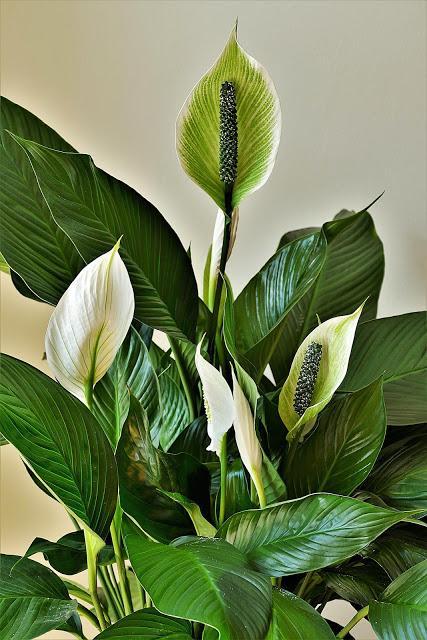 Espatifilo o cuna de Moisés, una gran planta de interior para purificar los ambientes