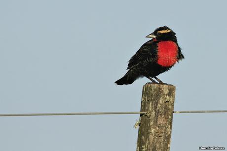 Pecho colorado en plumaje invernal