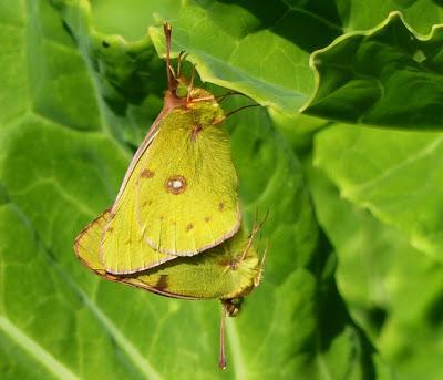 Mariposa Colias, ciclo anual