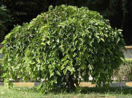 hojas de morera propiedades