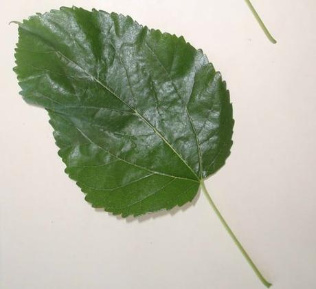 como son las hojas de morera