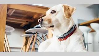 Investigadores entrenarán a caninos para detectar el coronavirus