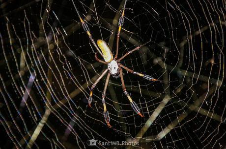 La araña de seda dorada