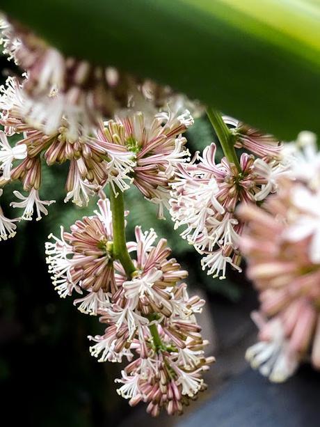 Primer plano de flores de Palo de Agua.