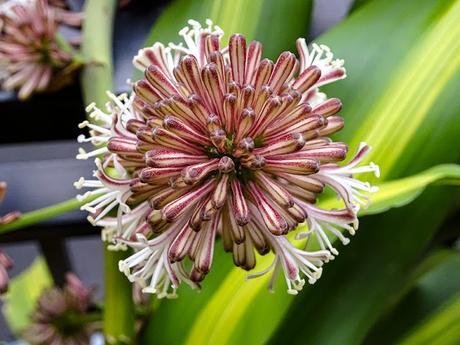 Flor de Palo de Agua (Tronco del Brasil)