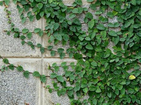 ▷ Ficus pumila ¡Todo sobre los FICUS!