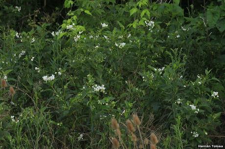 Granadillo (Solanum bonariense)