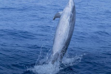 Excursión Avistamiento de Delfines Mular Costa Acantilados de Los Gigantes Tenerife Agosto 2018