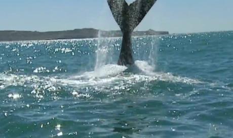 El maravilloso espectáculo de la Ballena franca llegando a la Península Valdés en la patagonia argentina.