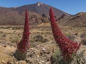 Ruta Tajinastes Rojos Valle Ucanca Isla Tenerife (Junio 2018)