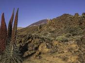 Tajinastes Rojos Jardín Botánico Portillo Parque Nacional Teide Tenerife