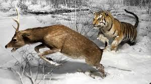 Tigres y ciervos
