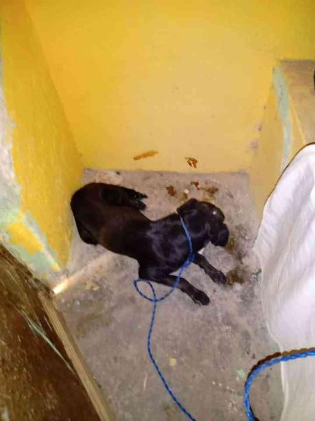 «Detienen a perros» en Salinas por entrar a gallinero del hermano del Alcalde;serán sacrificados