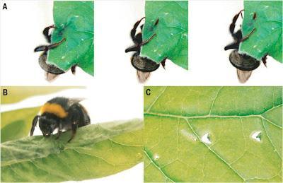 Los abejorros manipulan las plantas para que florezcan antes