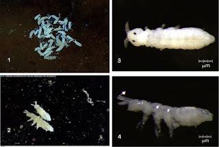 Nueva especie de colémbolo en cuevas de Perú