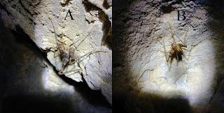 Nueva especie de ortóptero descubierto en cuevas de China
