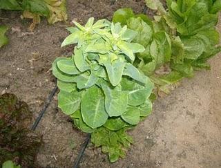 Obtencion de semillas de habas rabanos y lechugas paperblog - Como se preparan las habas ...