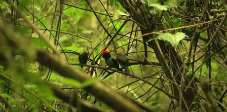 Memorias de Viaje #3: el Bailarín Azul un verdadero tesoro escondido en la selva misionera.