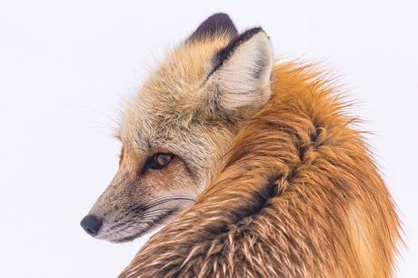 Zorro Rojo, La Vida Silvestre, Retrato, Naturaleza