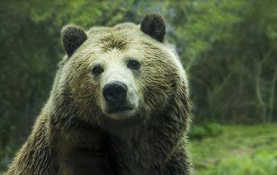 El oso ursino más antiguo (y ¿vegetariano?)