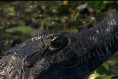 Avistaje de yacarés en los Esteros del Iberá