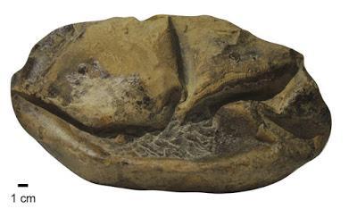 El huevo blando más grande del mundo ¡Era de mosasaurio!