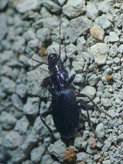 Laemostenus cazorlensis