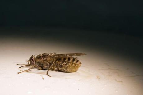 Los insectos más peligrosos del mundo
