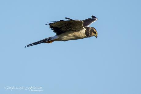 Gavilán planeador (Long-winged Harrier) Circus buffoni