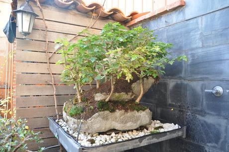 Diorama con Acers Campestres : 25 un bosque de verdad