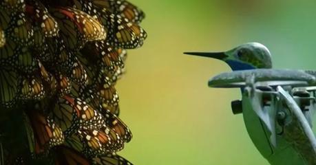 Un colibrí robótico captura impresionantes imágenes de medio billón de mariposas monarca