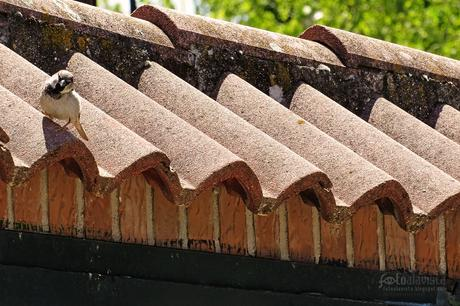 Gorrión sobre las tejas - Fotografía