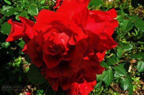 Rosas rojas cenitales de jardín - Fotografía