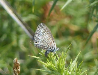 Mariposas en Cabo Peñas (I)