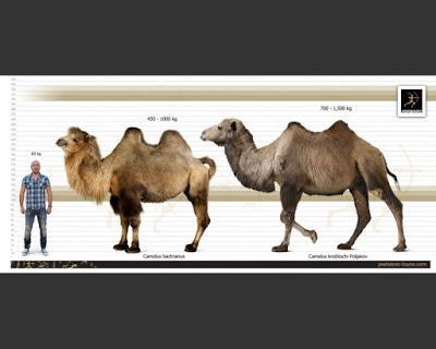 Camellos ¡en marfil de mamut!