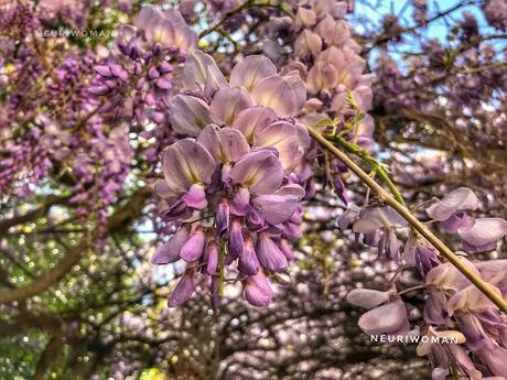 Glicinias por primavera
