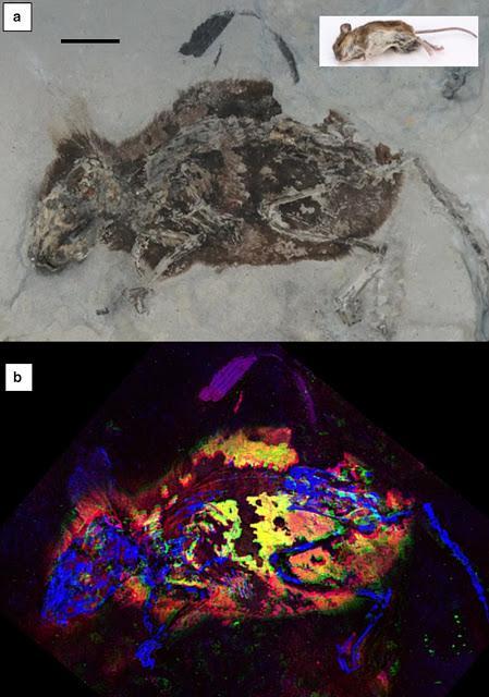 Mamífero fósil pelirrojo