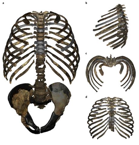El pecho de Homo erectus