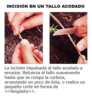 Incisión en un tallo acodado.