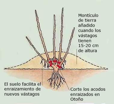 Realización del acodo subterráneo.