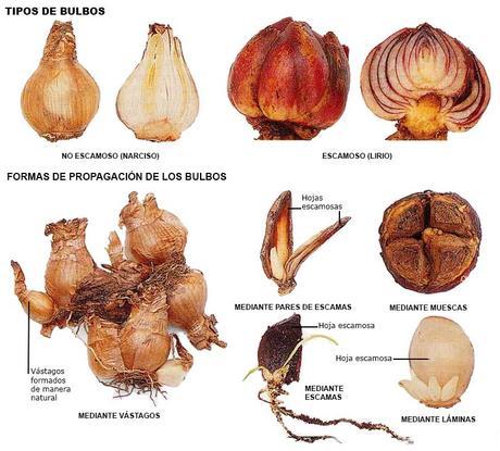 Tipos de bulbos y forma de propagación de los bulbos.