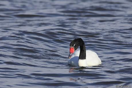 Cisne solitario