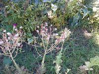 Lechuga en flor